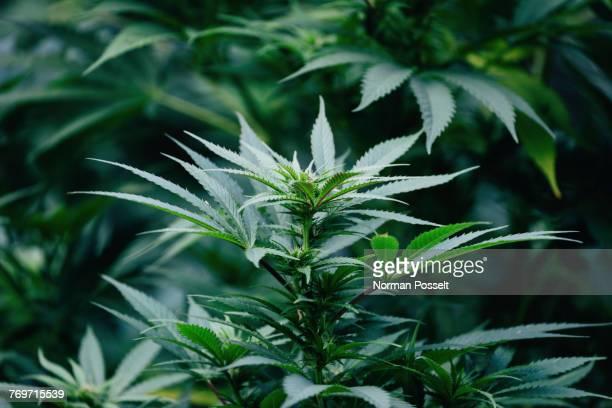 Close-up of marijuana plant growing outdoors