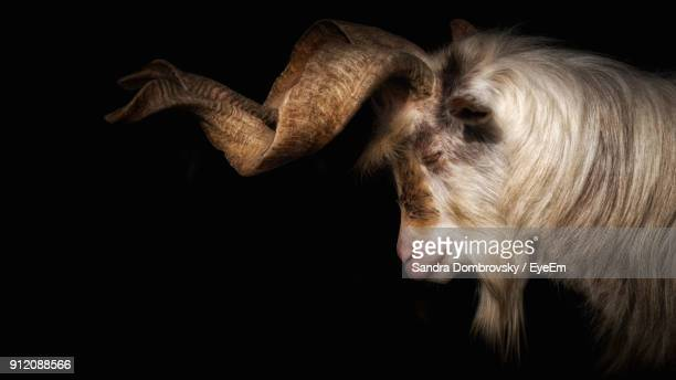 close-up of markhor goat against black background - markhor stock photos and pictures