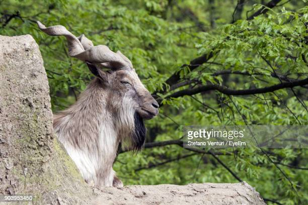 close-up of markhor goat against tree - markhor stock photos and pictures