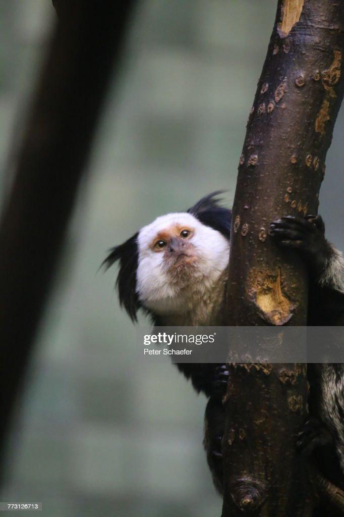 Close-Up Of Marmoset On Tree : Photo