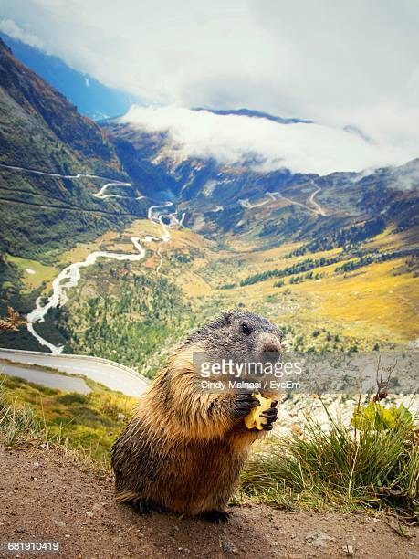Close-Up Of Marmot Eating On Field At Swiss Alps