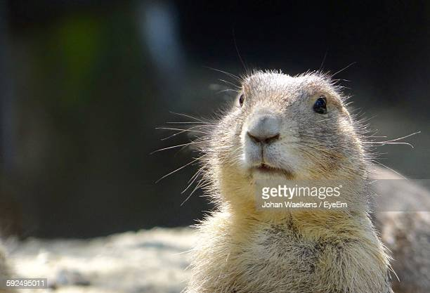 close-up of marmot - woodchuck stock pictures, royalty-free photos & images