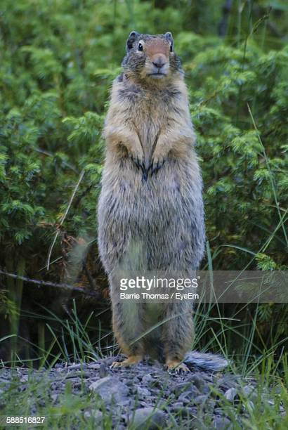 Close-Up Of Marmot Standing On Field