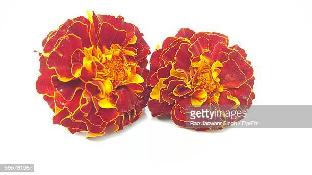 Close-Up Of Maroon Marigolds Against White Background