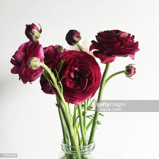 Close-Up Of Maroon Ranunculus In Vase Against White Background