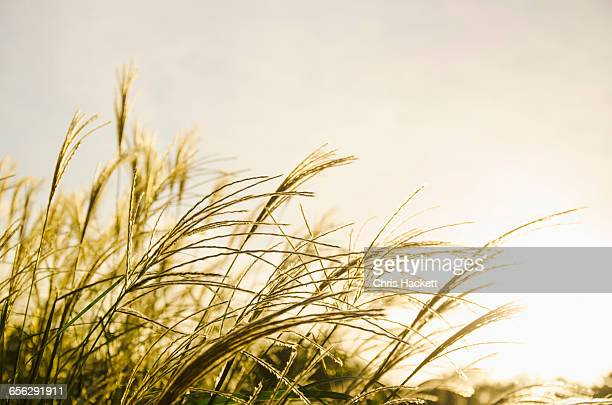 close-up of marram grass in sunlight - hackett stock photos and pictures