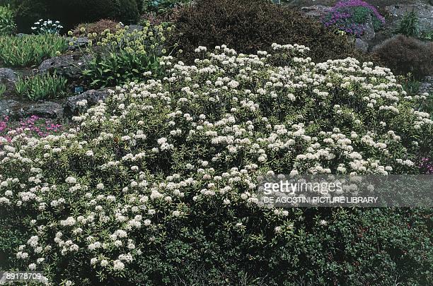 Closeup of Marsh Labrador Tea flowers