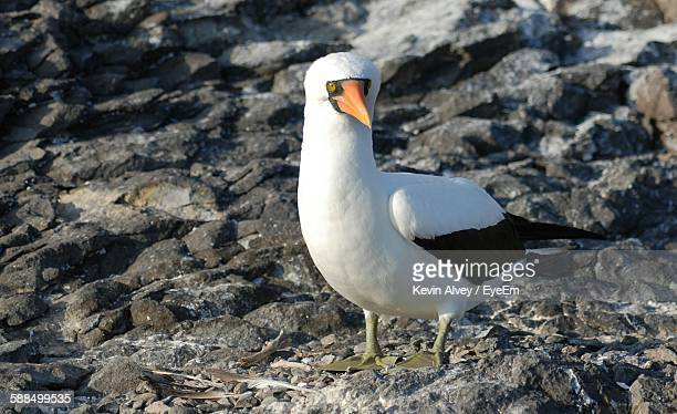 Close-Up Of Masked Booby Perching On Rocks At Galapagos Islands
