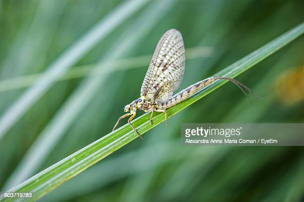 close-up of mayfly on grass - mayfly stock pictures, royalty-free photos & images