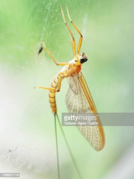 close-up of mayfly - mayfly stock pictures, royalty-free photos & images