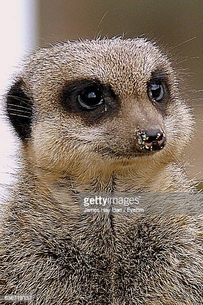 close-up of meerkat looking away outdoors - barr stock pictures, royalty-free photos & images