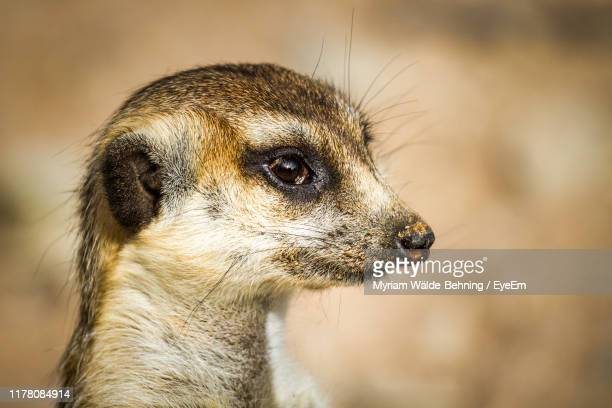 close-up of meerkat - meerkat stock pictures, royalty-free photos & images