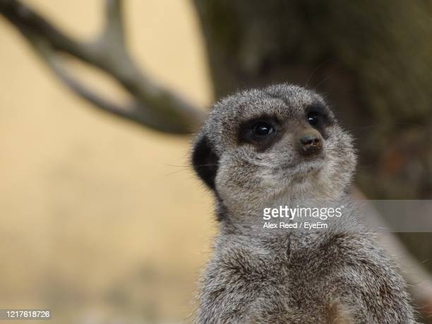 close-up of meerkat - alex reed stock pictures, royalty-free photos & images