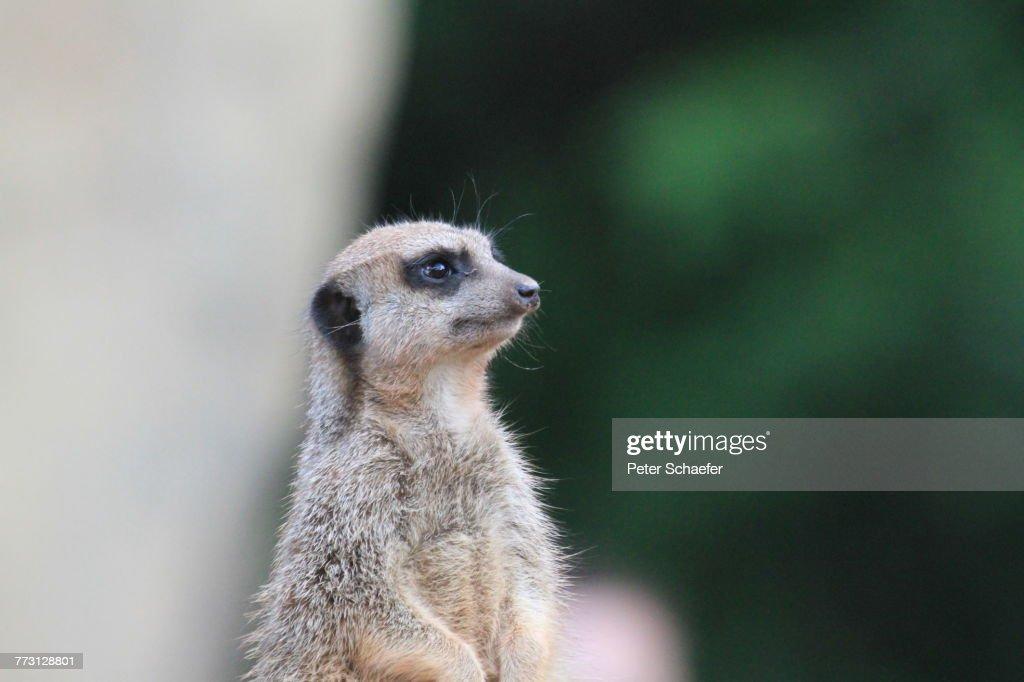 Close-Up Of Meerkat : Photo