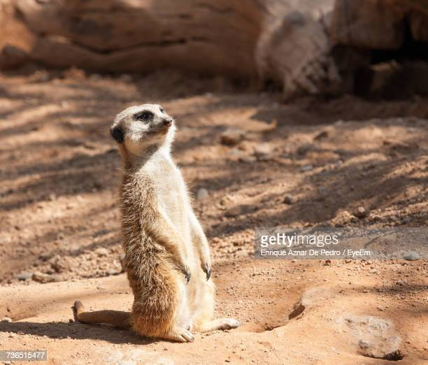 Close-Up Of Meerkat Standing On Sand