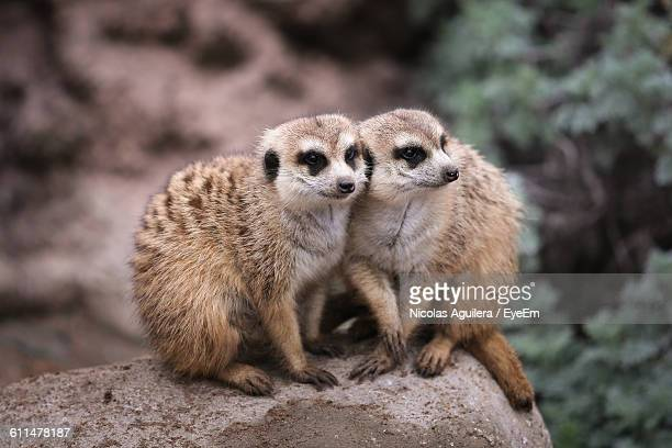 close-up of meerkats on rock - cordoba argentina stock pictures, royalty-free photos & images