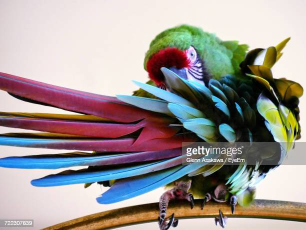 Close-Up Of Military Macaw Perching On Metal Against White Background