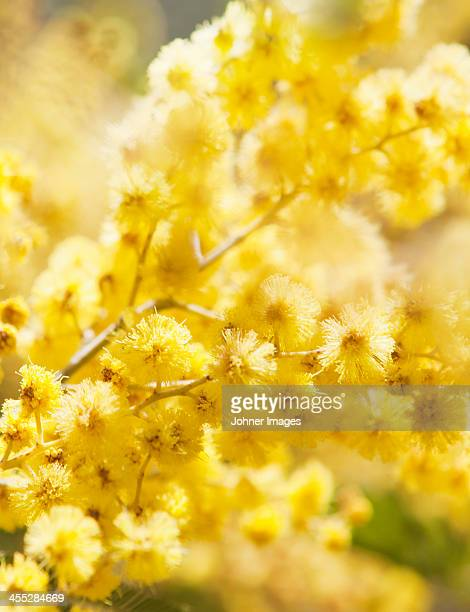 close-up of mimosa flowers - mimosa fiore foto e immagini stock