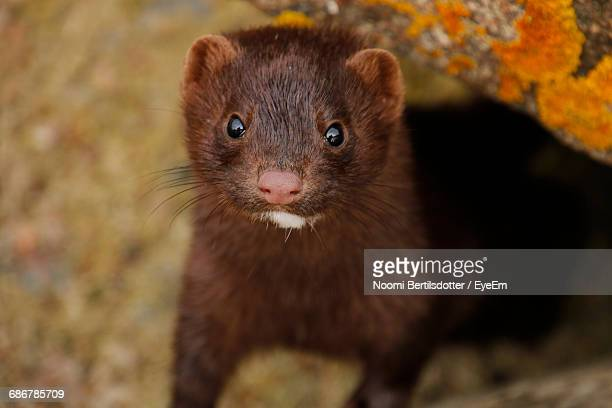 close-up of mink - mink animal stock pictures, royalty-free photos & images