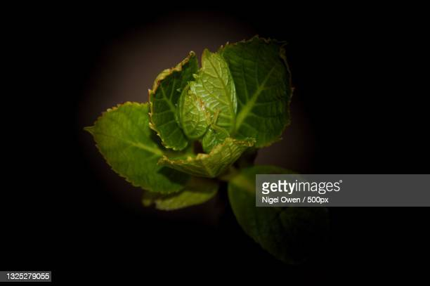 close-up of mint leaves against black background - nigel owen stock pictures, royalty-free photos & images