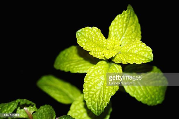Close-Up Of Mint Leaves Against Black Background