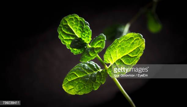 close-up of mint leaves - igor golovniov stock pictures, royalty-free photos & images