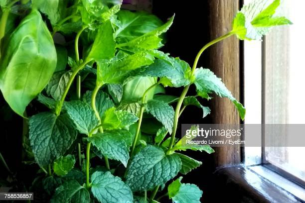 Close-Up Of Mint Plant Growing By Window