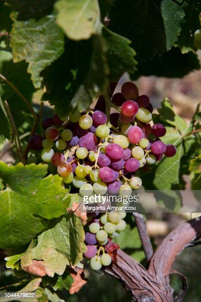 Close-up of mixed red and white grapes in the sun