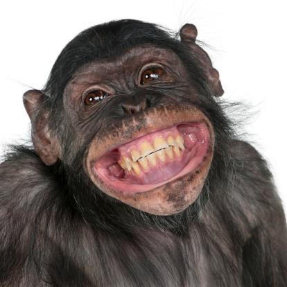Close-up of Mixed-Breed monkey between Chimpanzee and Bonobo smiling. 119838172