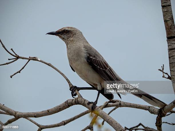 Close Up Of Mockingbird Perching On Branch Against Sky