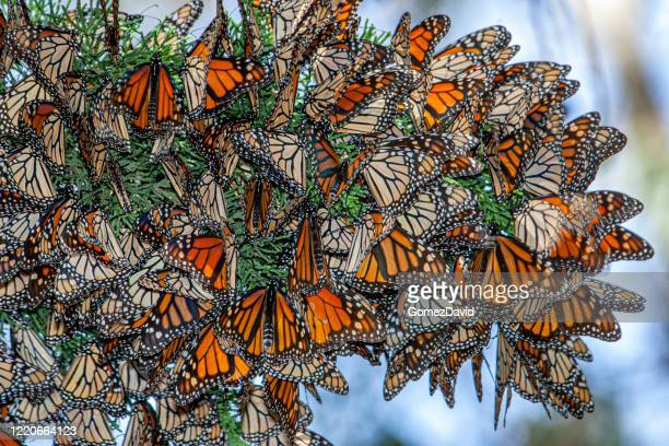 close-up of monarch butterflies on branch - small group of animals stock pictures, royalty-free photos & images