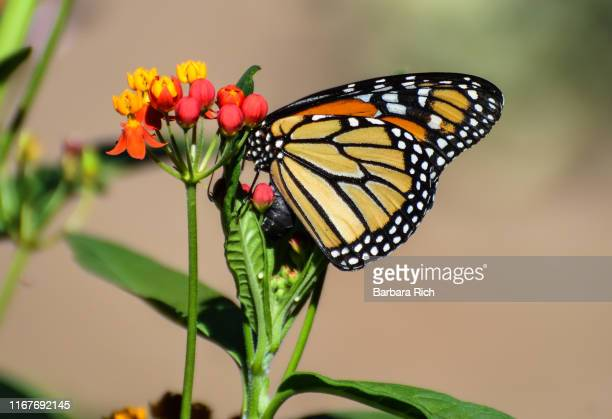 close-up of monarch butterfly laying eggs on tropical milkweed plant. white eggs are visible on leaves just under monarch's wing - milkweed stock pictures, royalty-free photos & images