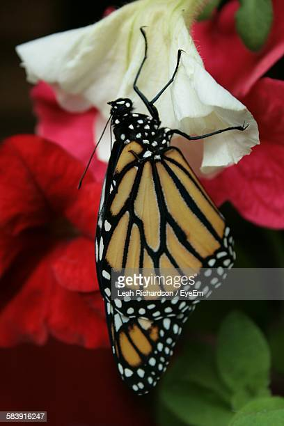Close-Up Of Monarch Butterfly Perching On White Flower Petal
