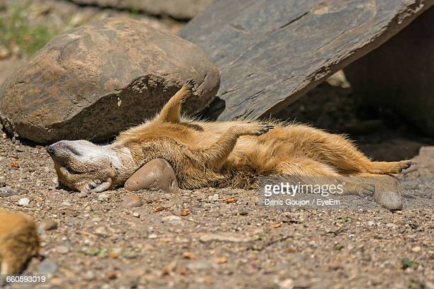 close-up of mongoose sleeping by stones on field - mangusta foto e immagini stock