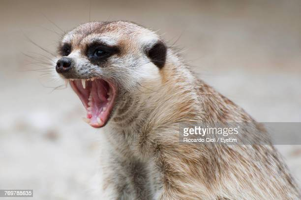 close-up of mongoose yawning on field - mongoose stock photos and pictures