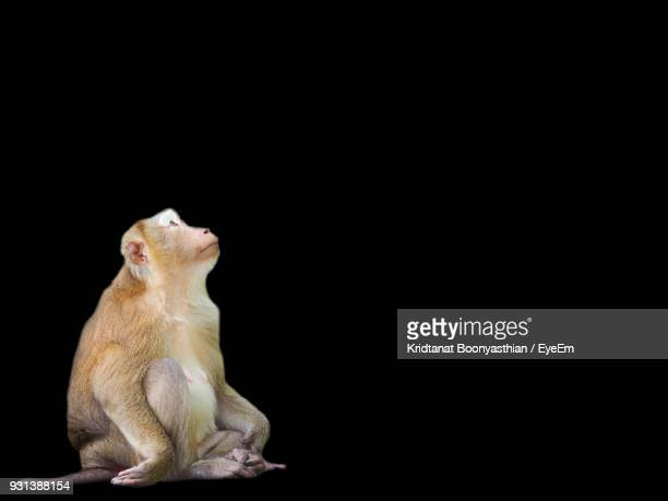 close-up of monkey against black background - primate stock pictures, royalty-free photos & images