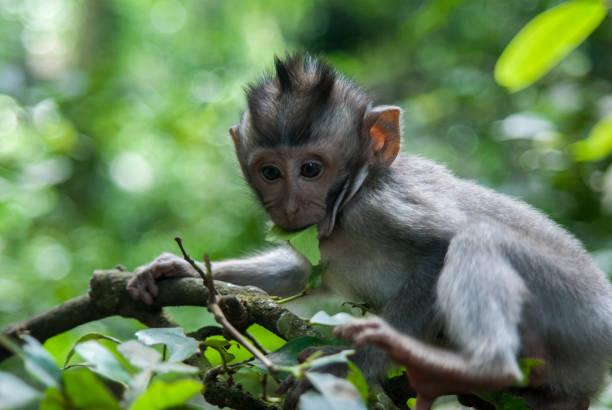 Close-Up Of Monkey Eating Food On Tree, Ubud, Indonesia