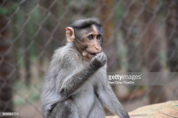 Close-Up Of Monkey Eating In Cage At Zoo