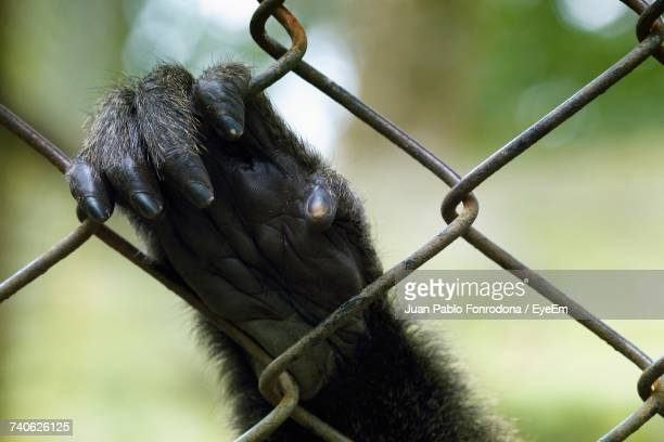 close-up of monkey holding fence - monkey paw stock photos and pictures