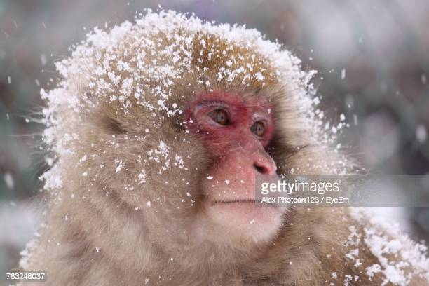 Close-Up Of Monkey In Snow