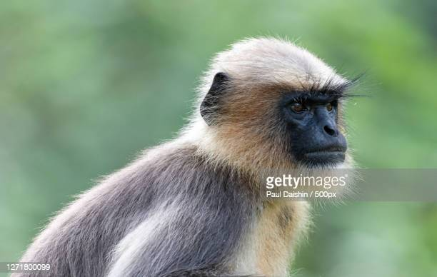 close-up of monkey looking away, ponnampet, india - images stock pictures, royalty-free photos & images