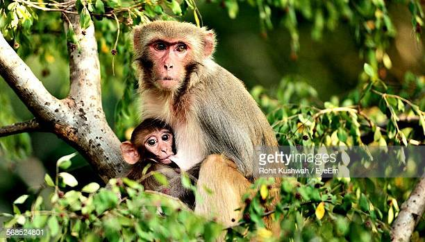 close-up of monkey nursing its baby - zoology stock pictures, royalty-free photos & images