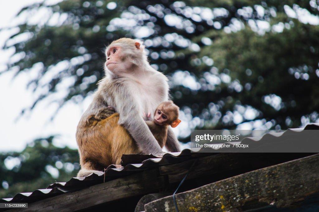 Close-up of monkey on roof : Stock Photo