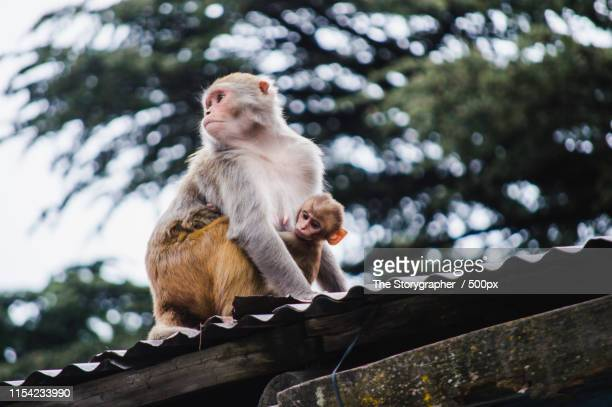 close-up of monkey on roof - the storygrapher stock pictures, royalty-free photos & images