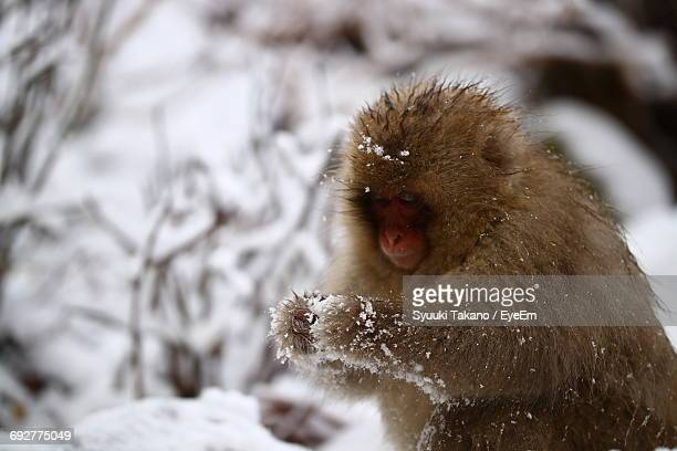 Close-Up Of Monkey On Snow