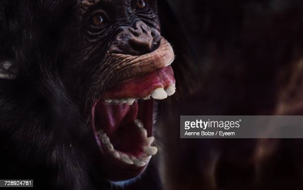 close-up of monkey outdoors - chimpanzee teeth stock pictures, royalty-free photos & images