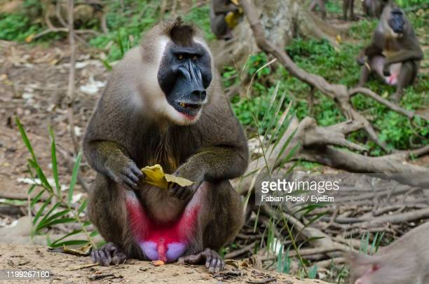 close-up of monkey - nigeria stock pictures, royalty-free photos & images