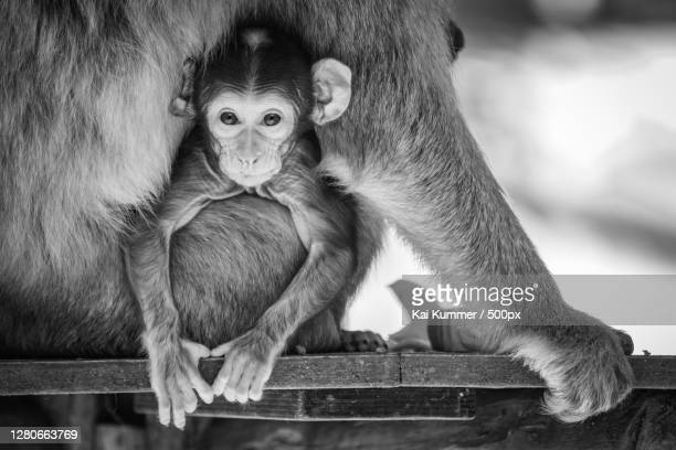 close-up of monkey sitting on wood,gera,germany - baum stock pictures, royalty-free photos & images