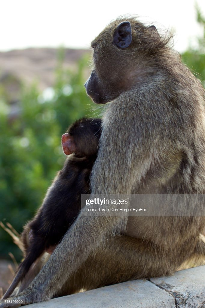 Close-Up Of Monkey With Infant Sitting Outdoors : Photo