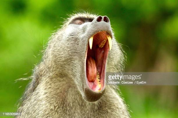 close-up of monkey yawning - one animal stock pictures, royalty-free photos & images